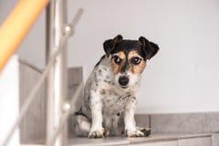 愚笨的小的杰克罗素狗狗今后坐台阶和神色 图库摄影