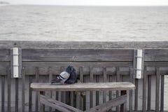 愚蠢海滩南卡罗来纳,两2月17日, 2018年-鸽子坐在亲吻的渔码头的一条长凳 库存照片
