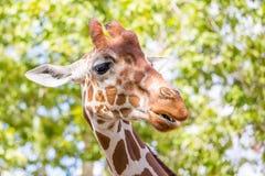 愚蠢的长颈鹿 免版税库存图片
