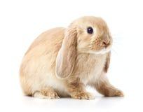 愚钝的兔子 免版税库存照片
