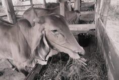 愚钝的母牛在泰国 免版税库存照片