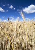 愚钝的黄色麦子 免版税图库摄影