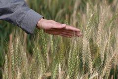 感受缨子麦子 免版税库存照片