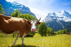 感兴趣的母牛 免版税库存图片
