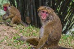 感兴趣的猴子亚洲斯里兰卡动物 免版税库存图片