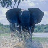 愤怒的大象(非洲象属africana) 库存图片