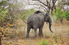 愤怒的大象 免版税库存照片