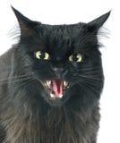 愤怒的猫 免版税库存图片