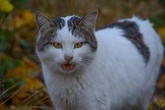 愤怒的猫 库存图片