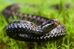 愤怒的蛇蝎 库存图片