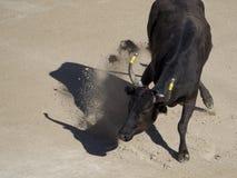 愤怒竞技场的公牛 免版税库存图片