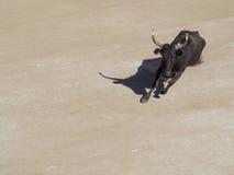 愤怒竞技场的公牛 免版税图库摄影