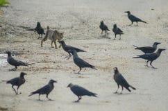 慢一条食肉动物的狭窄小道对乌鸦 免版税库存图片