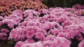 慢动作在领域的照相机飞行从接近种植桃红色花从桃红色菊花包括 股票视频