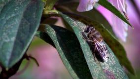 慢动作宏观昆虫 在叶子的美妙的特写镜头蜂在明亮的太阳下 股票视频
