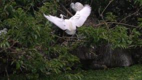 慢动作成人鸟白色白鹭属Garzetta在搜寻分支的池塘 股票视频