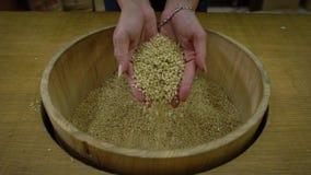 慢动作特写镜头拿着被收获的健康水稻的顶视图两手 股票录像