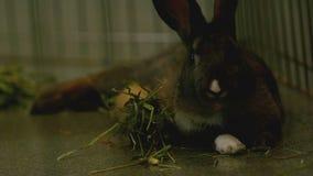慢动作用力嚼在草的褐色兔宝宝 影视素材