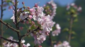 慢动作美妙的开花的樱桃分支 美丽的开花的佐仓 股票视频