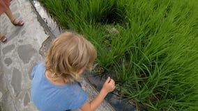 慢动作行动照相机使用与米领域大阳台的粮食作物的被射击一个小男孩 股票录像