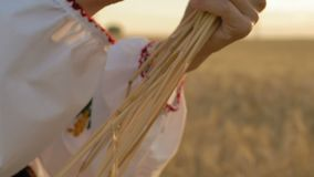 慢动作,特写镜头,妇女的手握一些个麦子小尖峰 股票录像