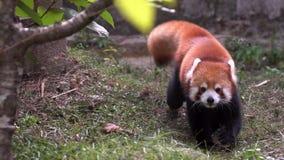 慢动作,走在森林地栖所的红熊猫特写镜头 小熊猫 股票视频