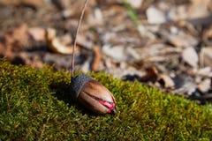 慢慢地发芽在早期的春天的橡子或oaknut在森林里 库存照片