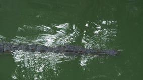 慢慢地游泳在鲜绿色的水中的鳄鱼 股票视频