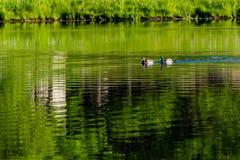 慢慢地游泳横跨池塘的两只鸭子 库存照片