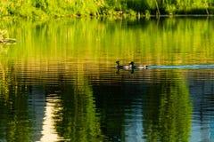 慢慢地游泳横跨池塘的两只鸭子 图库摄影