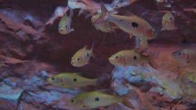慢慢地游泳水下的许多美丽的鱼 股票视频
