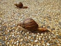 慢慢地爬行在岩石地板上的两只蜗牛 免版税图库摄影