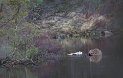 慢慢移动在自然环境里,坐在水中,吃 湖在森林里在挪威 免版税库存照片
