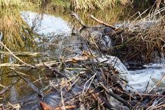 慢慢移动从许多的` s水坝棍子和泥 免版税库存图片