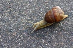 慢的蜗牛 免版税图库摄影