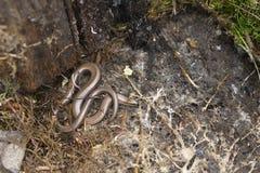 慢的蠕虫 库存图片