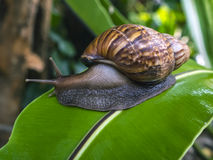 慢蜗牛移动在bird'nest蕨叶子 库存照片