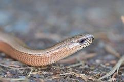 慢蠕虫或瞎的蠕虫,脆弱类的Anguis 库存图片