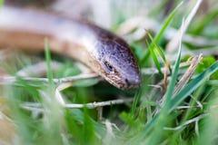 慢蠕虫, slowworm,脆弱类的Anguis,在头的宏观焦点在gra 免版税图库摄影
