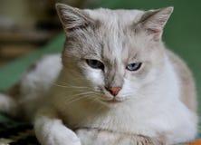 懊恼严肃的猫 免版税库存照片