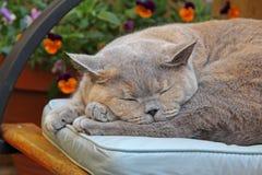 懒惰夏天猫 库存照片