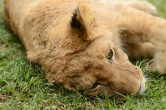 懒惰嬉戏的非洲幼狮 库存照片