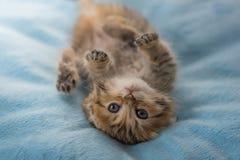懒惰小猫说谎 免版税库存照片