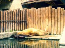 懒惰棕色肥胖封印在度假 免版税库存照片