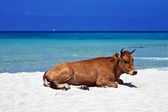 懒惰母牛, Saleccia海滩,可西嘉岛 免版税库存图片