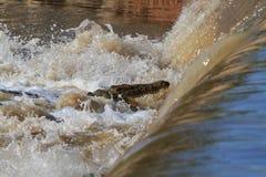 懒惰渔 在Grumeti河的尼罗鳄鱼 坦桑尼亚,非洲 免版税库存照片