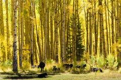 懒惰牛-科罗拉多圣胡安山在秋天 免版税库存照片