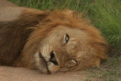 懒惰狮子男性 免版税库存图片