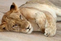 懒惰狮子 库存照片