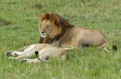 懒惰狮子 图库摄影